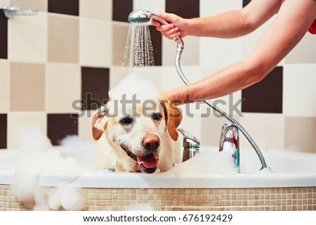 Bathing of the yellow labrador retriever. Happiness dog taking a bath. #676192429