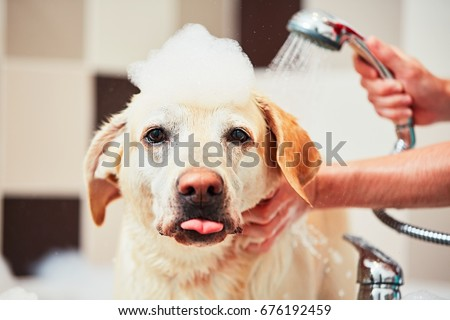 Bathing of the yellow labrador retriever. Happiness dog taking a bubble bath. #676192459