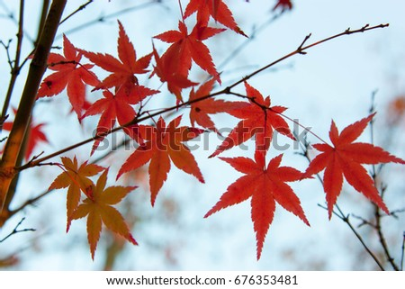 Red maple leaves #676353481