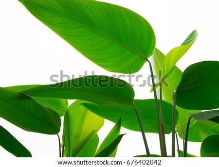 Big green leaves on a white backdrop. #676402042