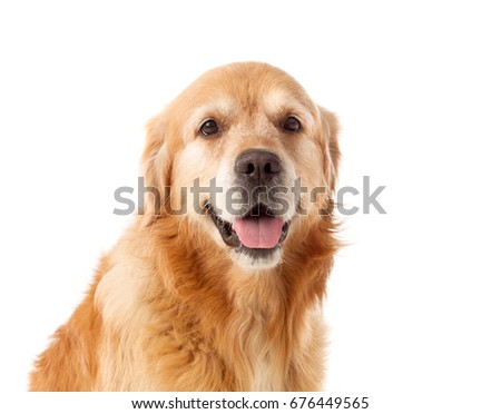Beautiful Golden Retriever dog breed in isolated studio on white background #676449565