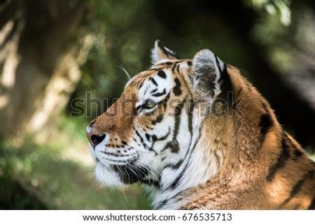 Siberian Tiger #676535713