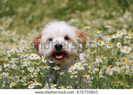little dog is sitting in a field of flowers #676750861