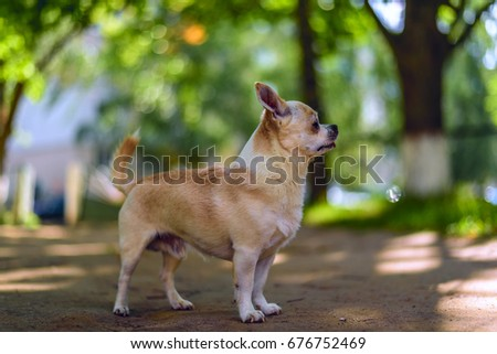 Chihuahua plays in the yard #676752469