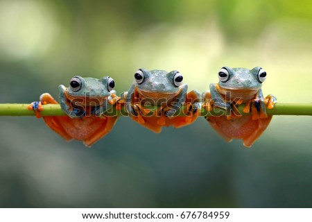 Tree frog, java tree frog, flying frog on branch #676784959