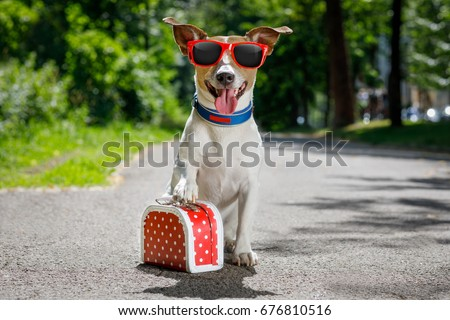 jack russell dog ready for summer holidays vacation with luggage or a bag