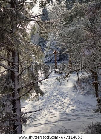 Pine trees covered with snow. Mount Eliaszowka. Beskid Sadecki, Poland. #677114053