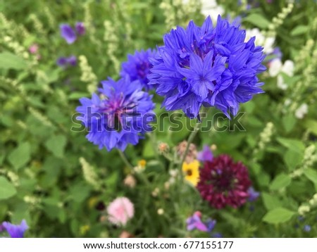 British mixed wild flowers featuring large blue petals #677155177