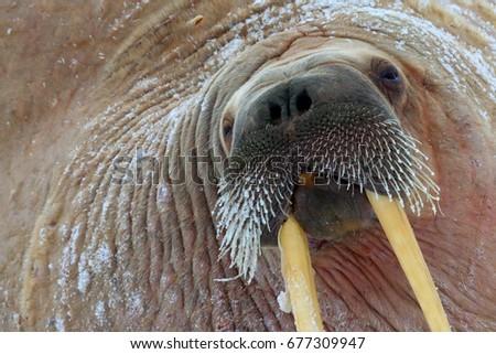 Detail portrait of Walrus with big white tusk, Odobenus rosmarus, big animal in nature habitat, Svalbard, Norway. Close-up portrait of walrus.