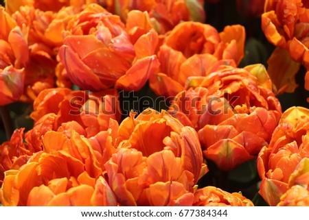 tulip #677384344