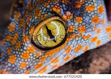 macro gecko eye for detail #677521420
