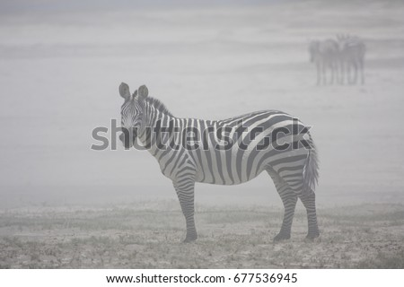 Single zebra sheltering in a dust storm in a national park in Tanzania #677536945