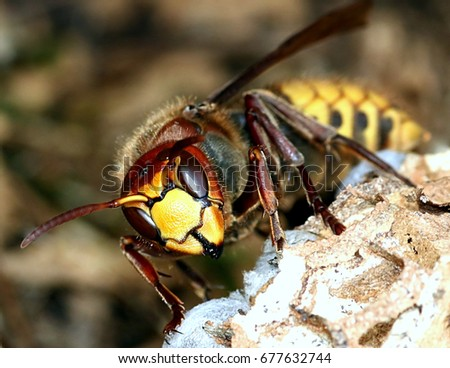 Close up of the head and jaws or European hornet worker (Vespa crabro) constructing a hornet's nest.