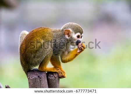squirrel monkey eats  #677773471