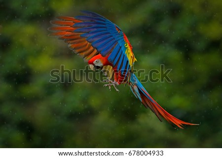 Wildlife scene from tropical nature. Red bird in the forest, in the rain. Macaw parrot flying in dark green vegetation. Scarlet Macaw, Ara macao, in tropical forest, Costa Rica. #678004933
