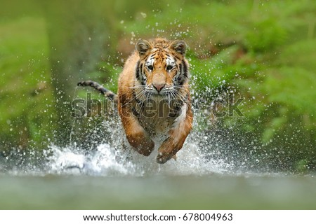 Siberian tiger, Panthera tigris altaica, low angle photo direct face view, running in the water directly at camera with water splashing. Attacking predator in action. #678004963