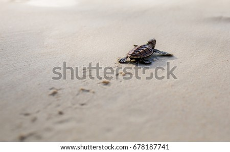 Little Sea Turtle Cub, Crawls along the Sandy shore in the direction of the ocean to Survive, Hatched, New Life, Saves, Way to life, Tropical Seychelles, footprints in the sand, forward to a new life #678187741