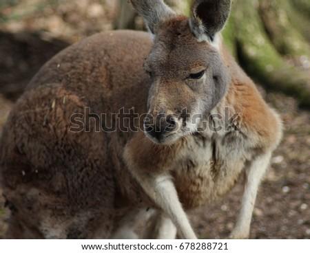 The red kangaroo (Macropus rufus) #678288721
