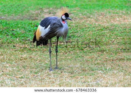 Grey crowned crane stand living on the prairie. #678463336