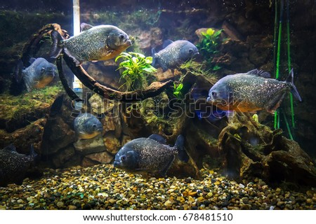 Piranha swims under water on a background of rocks and algae in the aquarium.