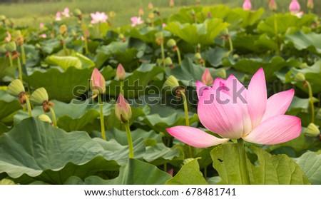 lotus flowers n bud #678481741