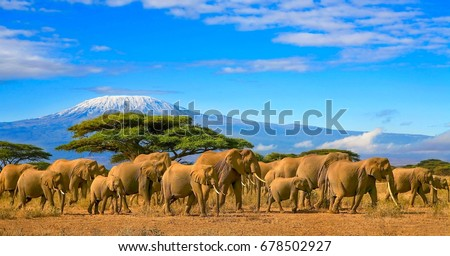 Herd of african elephants on a safari trip to Kenya and a snow capped Kilimanjaro mountain in Tanzania in the background, under a cloudy blue skies. #678502927