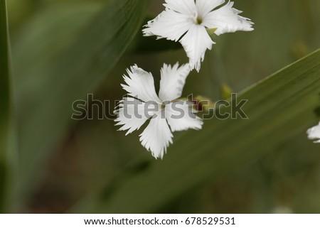 Flower of the wild pink Dianthus spiculifolius #678529531