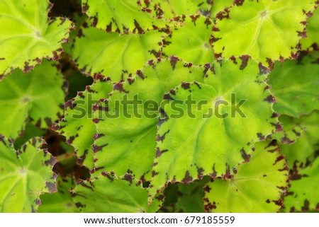 Close up of beautiful pattern of begonia leaves. Selective focus on front leaf #679185559