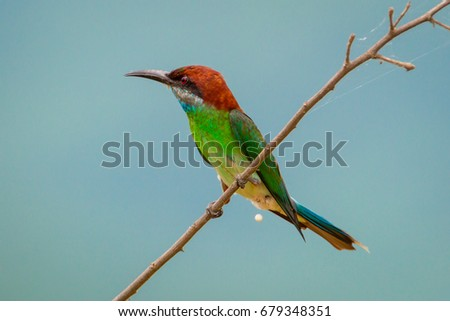 Blue-throated Bee-eater (Merops viridis) catch on branch and peeing in nature in Thailand #679348351