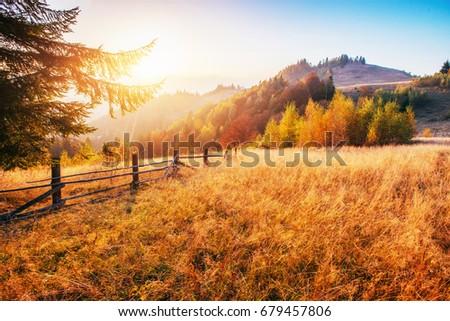 birch forest in sunny afternoon while autumn season. Autumn Landscape. Ukraine.