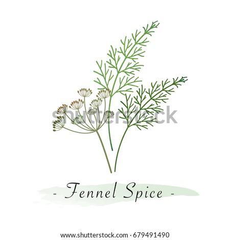 Colorful watercolor texture vector healthy vegetable fennel spice #679491490