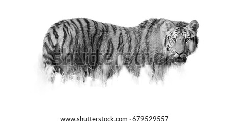 Fine art photo, black and white Siberian tiger, Panthera tigris altaica partly hidden in the grass.