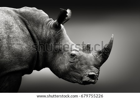 Highly alerted rhinoceros, black and white, monochrome portrait. Fine art, South Africa. Ceratotherium simum Royalty-Free Stock Photo #679755226