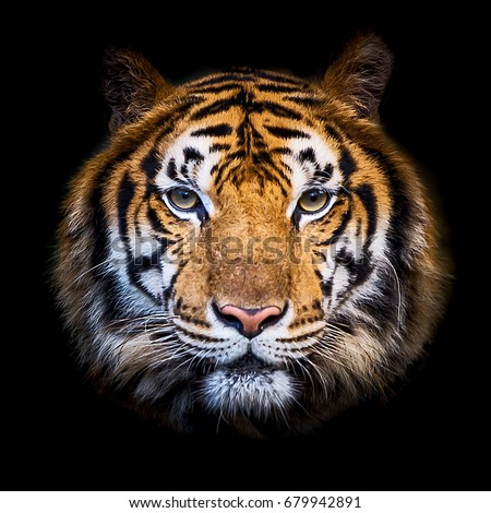 Headshot of Indochinese tiger (Panthera tigris corbetti) on black with copyspace.  Royalty-Free Stock Photo #679942891