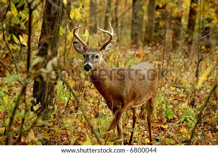 a picture of an adult male buck taken in the forest in indiana