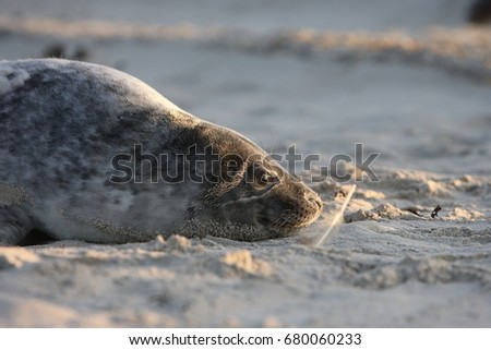 Gray Seal (Halichoerus grypus) Pup Helgoland Germany  #680060233