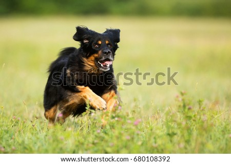 dog Hovawart is jumping  meadow #680108392
