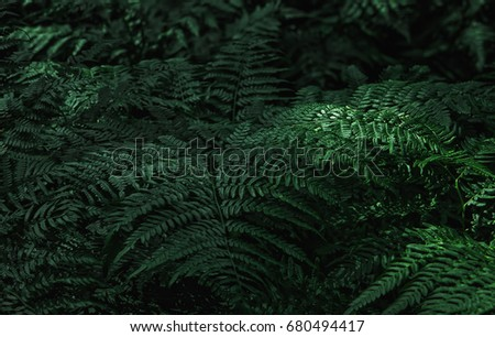 Dark green fern leaves in the forest - natural background. Space for copy, selective focus. #680494417