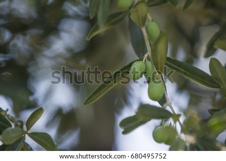 Olive growing on trees #680495752