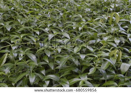 Lesser periwinkle - Evergreen plant with fine purple flowers #680559856