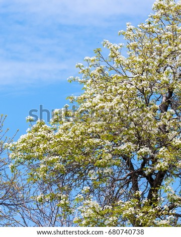 Spring. apple Trees in Blossom. flowers of apple. white blooms of blossoming tree close up. Beautiful spring blossom of apple cherry tree with white flowers.  #680740738