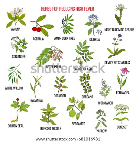 Best herbs for reducing high fever. Hand drawn vector set of medicinal plants #681016981