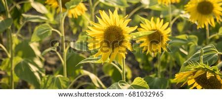 Sunflower #681032965
