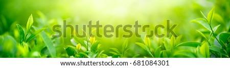 Fresh tea bud and leaves.Tea plantations. #681084301