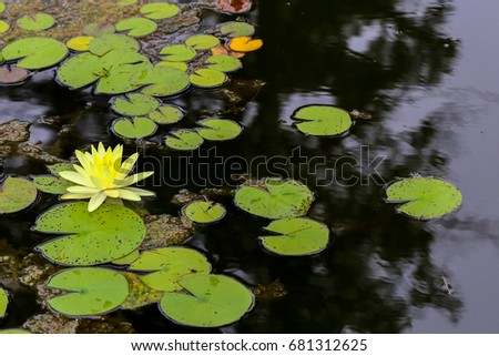 Yellow lotus flower on a bed of lily pads in a calm pond. #681312625