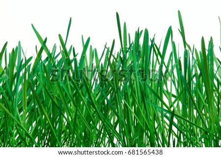 Fresh grass with dew in the ground. Germinated rye. #681565438