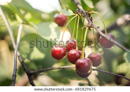 close up red cherry grow on tree in sunny summer day #681829675