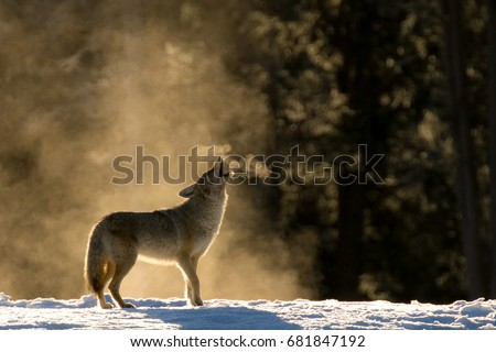 Classic Coyote howl in the mist.
