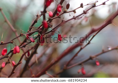 Bright red berries dripping with morning dew on thorny branches. #681904234