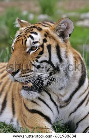 Close up portrait of beautiful Bengal Tiger #681988684